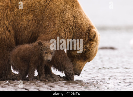 Brown bear mother and cub dig for razor clams on the shores of Cook Inlet in Lake Clark National Park Alaska, June - Stock Photo