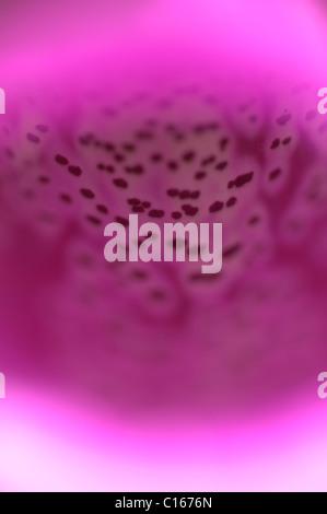 Close-up of flower of Foxglove (Digitalis purpurea). West Sussex, UK. May. - Stock Photo