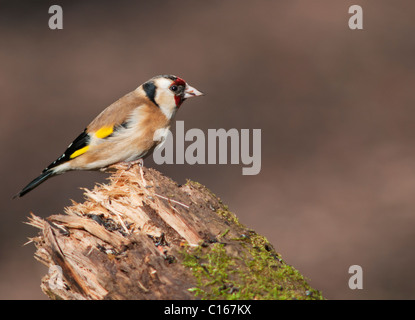 Goldfinch (Carduelis carduelis) perched on top of log - Stock Photo
