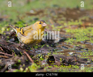 Male Siskin (Carduelis spinus) drinking from woodland pond - Stock Photo