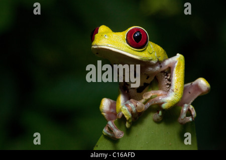 Red-eyed Treefrog (Agalychnis callidryas), in the primary forest of Costa Rica, Osa Peninsula - Stock Photo