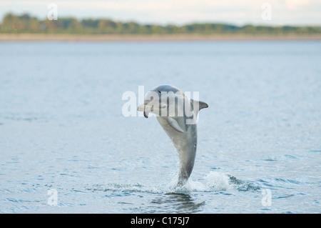 Bottlenose dolphin (Tursiops truncatus) , Moray firth, Scotland, UK. - Stock Photo
