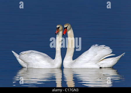 Mute swans (Cygnus olor) showing courtship display in winter, Germany - Stock Photo