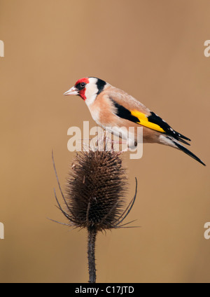 Goldfinch (Carduelis carduelis) perched on top of teasel - Stock Photo