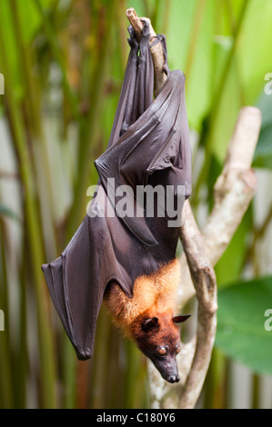 A fruit bat also known as a flying fox (Pteropus vampyrus) in Bali Indonesia - Stock Photo