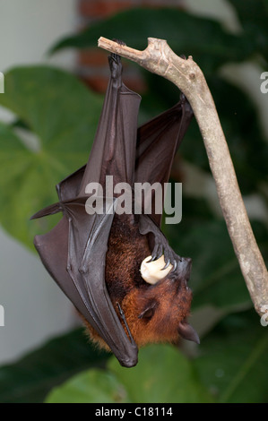 A fruit bat also known as a flying fox (Pteropus vampyrus) in Bali Indonesia eating salak or snake fruit - Stock Photo