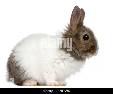 Young Lionhead rabbit, 2 months old, in front of white background - Stock Photo