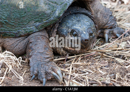 snapping turtle large reptile - Stock Photo