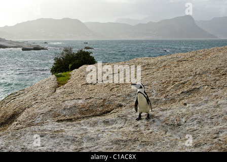 African (jackass, black-footed) penguin, South Africa - Stock Photo