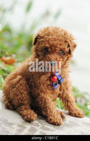 A little toy poodle dog sitting on the ground - Stock Photo