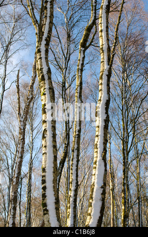 Long slender trunks of Silver Birch trees in copse with snow and bright  sunshine - Stock Photo