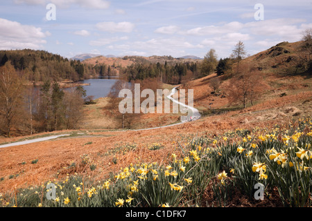 Coniston, Cumbria, England, UK. Wild daffodils and view of path around Tarn Hows in Lake District National Park - Stock Photo