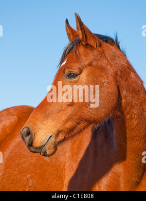 Profile of a beautiful red bay Arabian horse against clear blue sky - Stock Photo