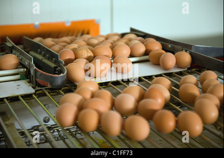 Eggs transported on a conveyor belt to the packing station, Bestensee, Germany - Stock Photo