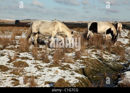 Wild Ponies at Temple on Bodmin Moor Cornwall England UK - Stock Photo