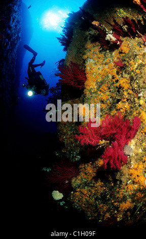 France, Corse du Sud, diver in a crevace covered with sponges, sea fan corals and anemones - Stock Photo