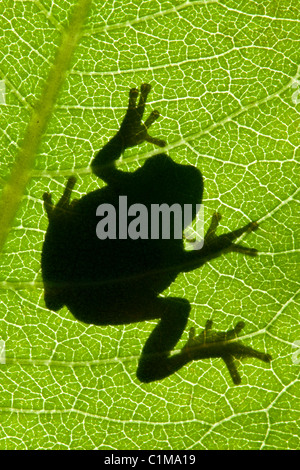 Gray Tree Frog Hyla versicolor silhouette on Common Milkweed leaf Asclepias syriaca Eastern North America - Stock Photo
