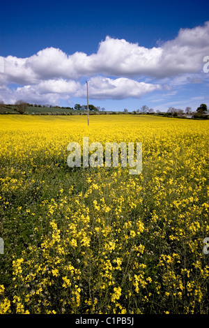 yellow rapeseed field on the Scottish Borders - Stock Photo
