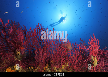 Scuba diver on reef with red gorgonians - Stock Photo