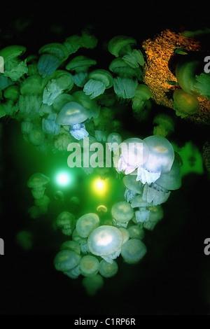 group of barrel jellyfish or dustbin-lid jellyfish (Rhizostoma pulmo) in cave, Black Sea, Crimea - Stock Photo