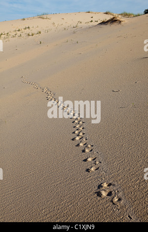 Animal tracks in sand dunes Monahans Sand Hills State Park Texas USA - Stock Photo
