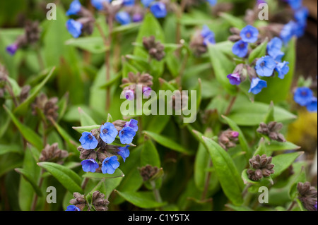 Pulmonaria angustifolia `Mawson's Blue' in bloom - Stock Photo