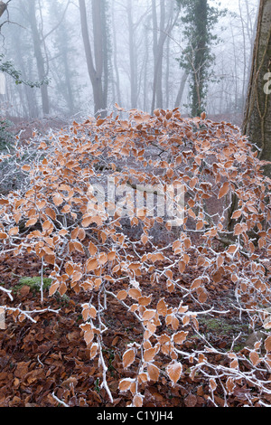 Hoar frost and mist in winter in Maitlands Wood on Scottsquar Hill in the Cotswolds at Edge, Gloucestershire, England, - Stock Photo