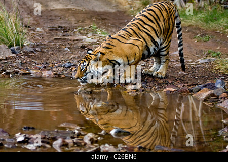 Tiger drinking from a water hole in Ranthambhore - Stock Photo