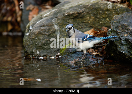 Blue Jay (Cyanocitta cristata bromia), about to bath in the Gill within the Ramble in New York's Central Park. - Stock Photo