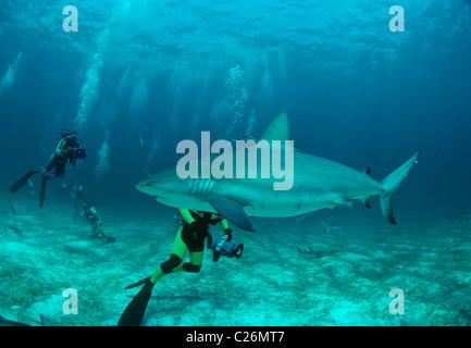 Scuba divers photograph Caribbean Reef Shark (Carcharhinus perezi). Walker's Cay, Bahamas. Caribbean Sea - Stock Photo