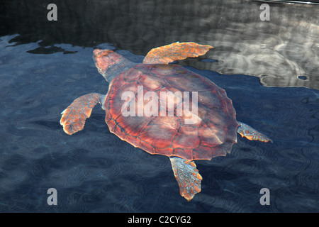 Snapping turtle in the water - Stock Photo
