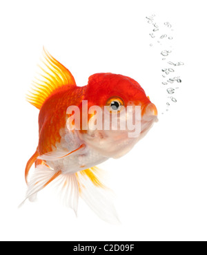 Lionhead goldfish, Carassius auratus, in front of white background - Stock Photo