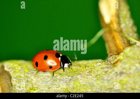 Ladybird insect on a tree branch - Stock Photo
