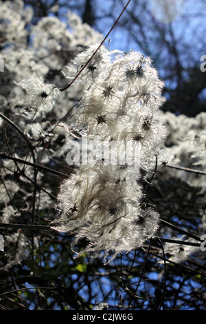 Clematis vitalba - known as Old man's beard or Traveller's Joy, a climbing shrub of the Ranunculaceae family. Surrey - Stock Photo