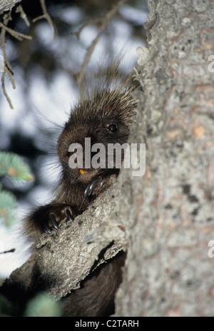Porcupine, Denali National Park, Alaska - Stock Photo