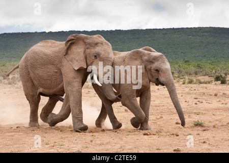 African elephant bull courting female, Loxodonta africana, Addo national park, South Africa - Stock Photo