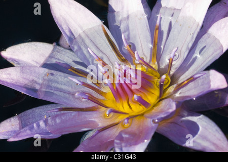 Close up of Water Lilies - Stock Photo