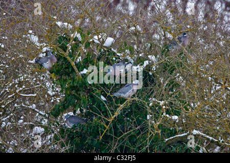 Wood pigeon flock foraging on ivy berries within an old tree in The Cotswolds, UK - Stock Photo