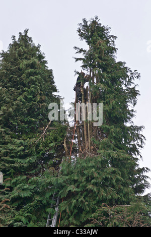 Tree surgeon taking top off large Lawson's Cypress tree - Stock Photo