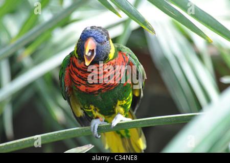 Rainbow Lorikeet (Trichoglossus Haematodus) - Stock Photo
