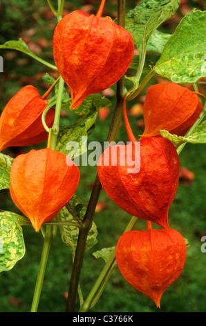 Physalis alkekengi franchetii 'Variegata' Chinese Lantern lanterns orange fruit fruits autumn autumnal fall garden - Stock Photo