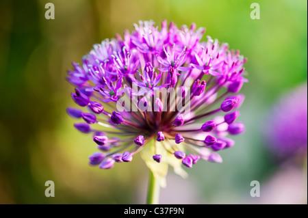 Allium hollandicum Purple Sensation flower. Selective focus - Stock Photo