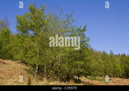These wonderful looking young silver birch trees look fresh in the Spring sunshine below Howden Moor - Stock Photo