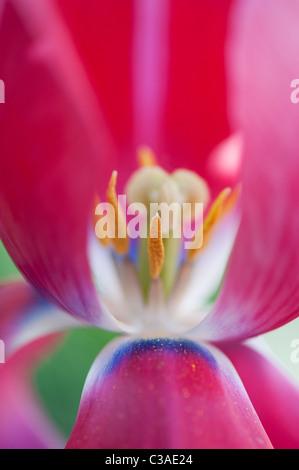 Tulipa. Pink Tulip showing pistil, stigma and stamens - Stock Photo