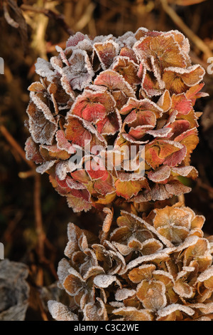 Hoar frost on the old flowers of a Hydrangea macrophylla on a sunny winter morning - Stock Photo