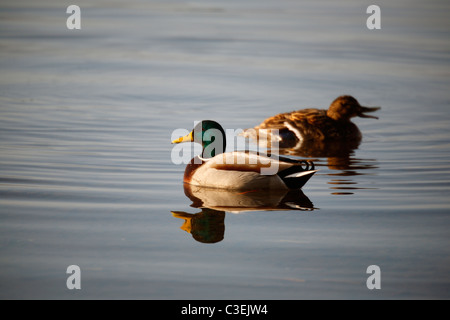 Two Mallard ducks (a male and a female) looking for food on Derwent Water near Keswick in the Lake District of England - Stock Photo
