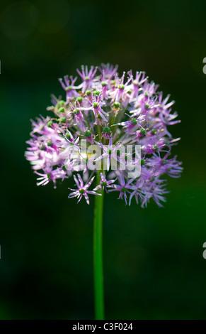 Allium Hollandicum 'Purple Sensation'  flower head - Stock Photo