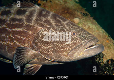 Black groupers are some of the larger predatory fish that can be found on Caribbean reefs. - Stock Photo