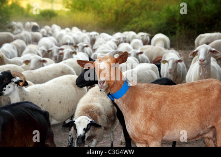 goats and sheep herd flock outdoor track nature animals - Stock Photo