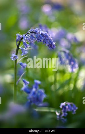 English Bluebells - Hyacinthoides non-scripta - Stock Photo